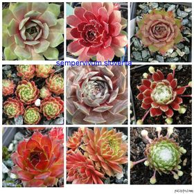 Whisky, Sempervivums and more