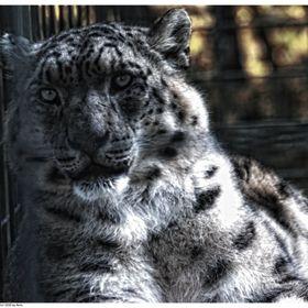 Snow Leopard Personalised Jumbo Magnet