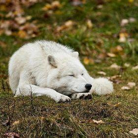Lazy Wølf 🐺