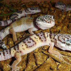 Geckomastermail