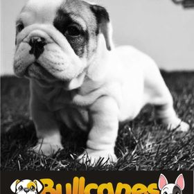 BULLCANES Bulldog puppies for Sale