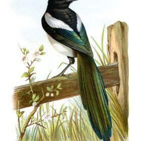 Rural Magpie