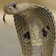 Kobra Kobrič
