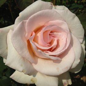 Rilly Rose