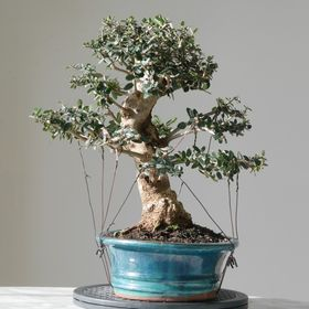 Blue Sky Bonsai