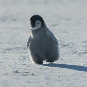 Хромой пингвин