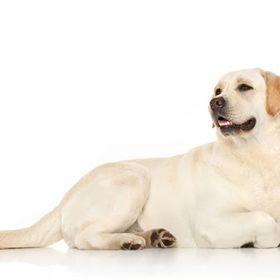 Labas Su Labrador Retriever Kennel