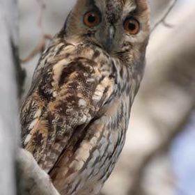 Owly Owlet