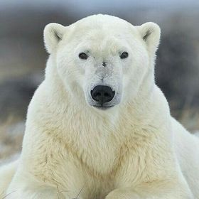 polar bear lover
