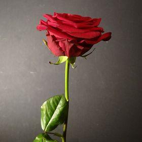 40 Gambar Mawar Merah Terbaik Mawar Merah Bunga