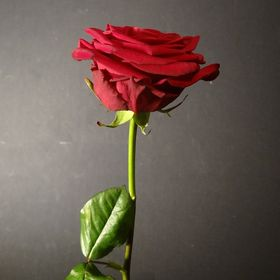 48 Gambar Mawar Merah Terbaik Merah Mawar Cantik Dan Gambar