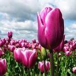 Lila Tulipan