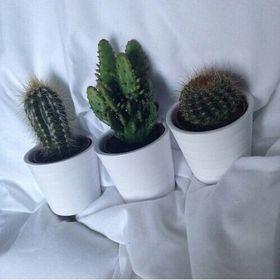 cactus in the white pot