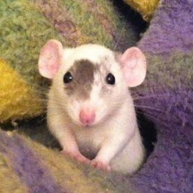 ratchet rat