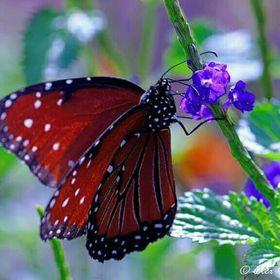 mariposa soñadora