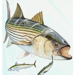 FisninMoney.com - Blog Striped Bass | Crappie |  Darren Enns