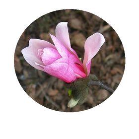 Magnolia F.U.H.