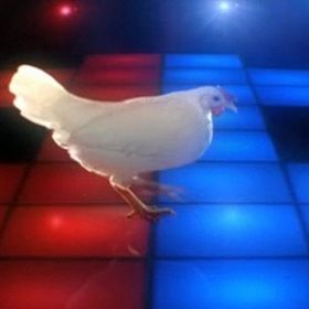 Disco Chicken