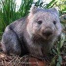Przyjaciel Wombatów
