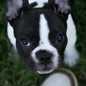 Itchy Frenchie