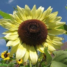 Sunflowers by Anna