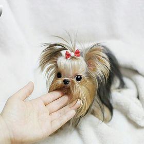 Micro teacup puppies modeldogs