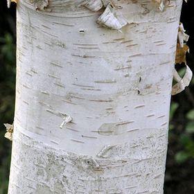 Silver Birch Months