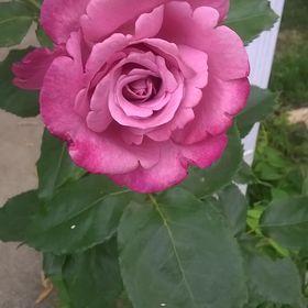 Rose Lamb