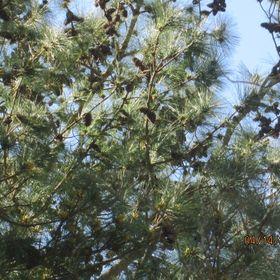 Selinas Herbs & Pine Cones