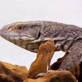 Viperidae Reptiles