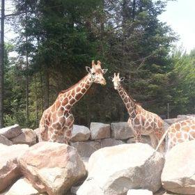 I_like_giraffes_ok