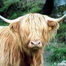 Taureau Highland