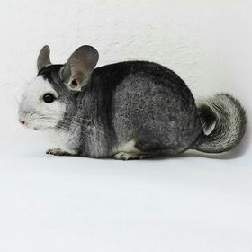 Evil Chinchilla