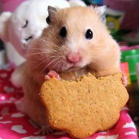 Di Hamster