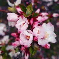 Sakura Jia