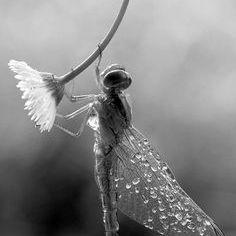 Odonata Blue