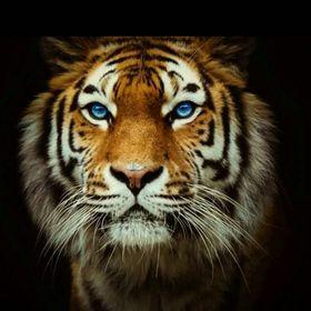 Sandokan Tygr