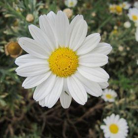 🌼 Daisy