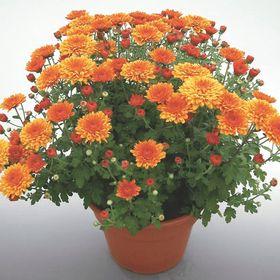 Chrysanthemums Blog