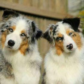 Skylamere Australian Shepherds