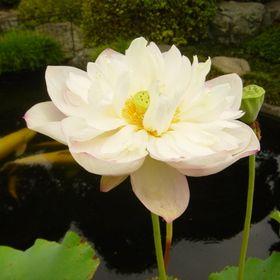 flora guidonet