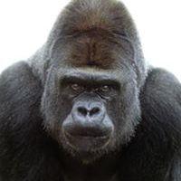 Tommy Gorillas