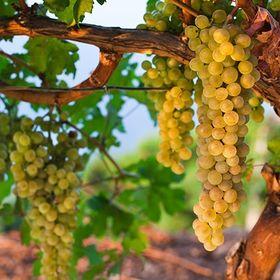 Wine routes Mallorca-Mallorca Weinstraße Vullvi
