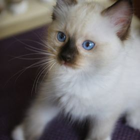 MARU the Cat Ragdoll PL