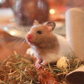 Hamster Cute
