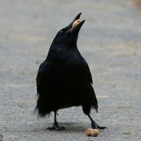 Plague Raven