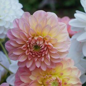 Clodhopper Blooms