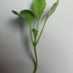Microgreen Indonesia