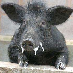 Dzikie Swinie