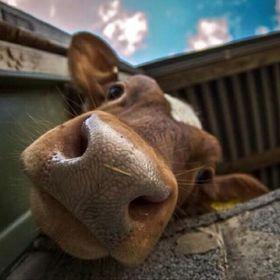 •Cows•